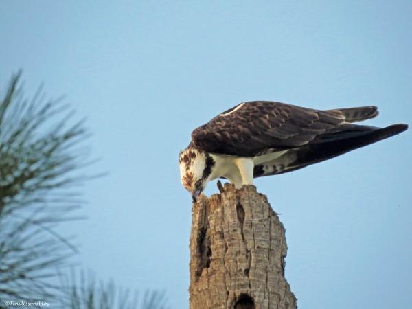 osprey eating at sunset