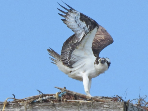 osprey sees a danger approaching at the Sand kay nest Clearwater Florida