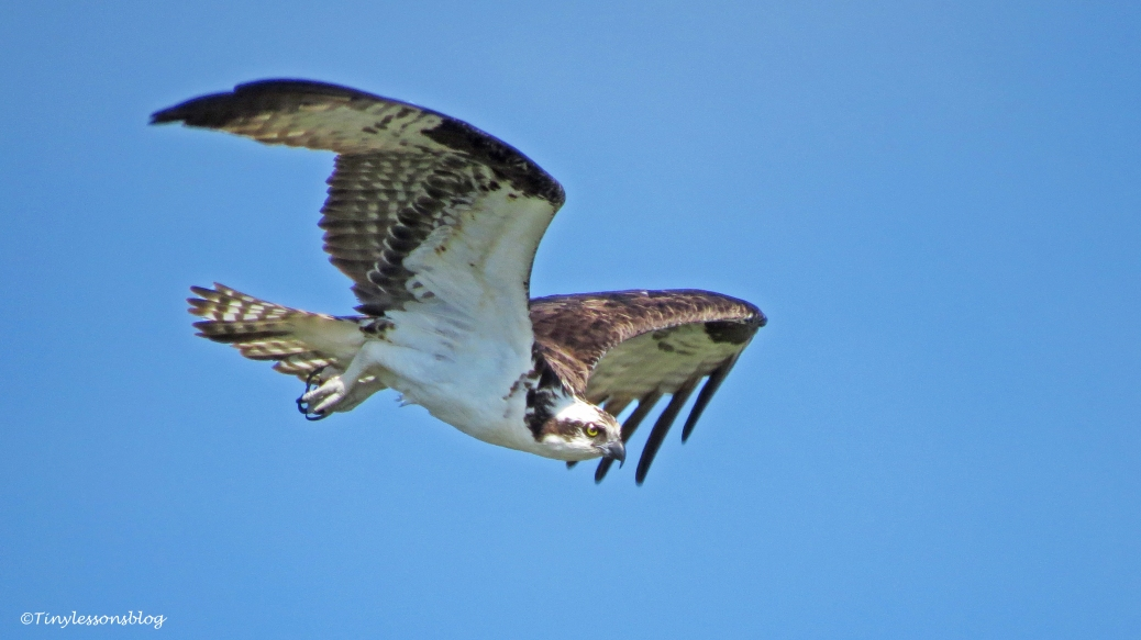 male osprey flying