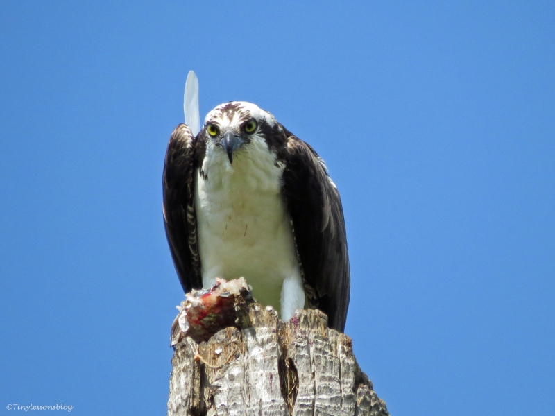 male osprey eats on his perch sand key park clearwater florida