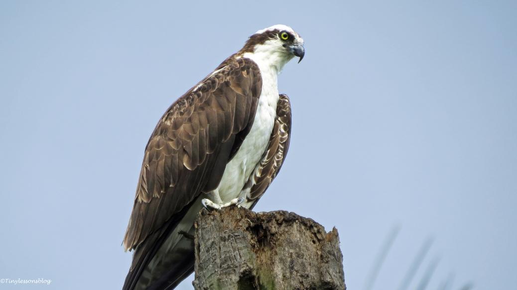 papa osprey in his mancave 3 16x9 FF