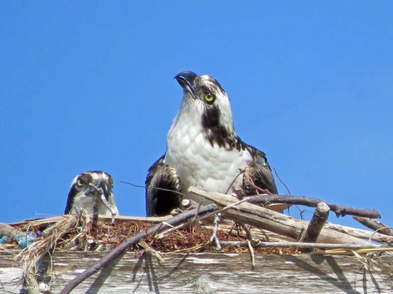 male osprey on guard duty Sand Key Park Clearwater Florida