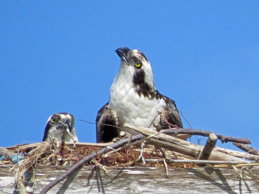 male osprey on guard duty Sand Key Park Clearwater Florida