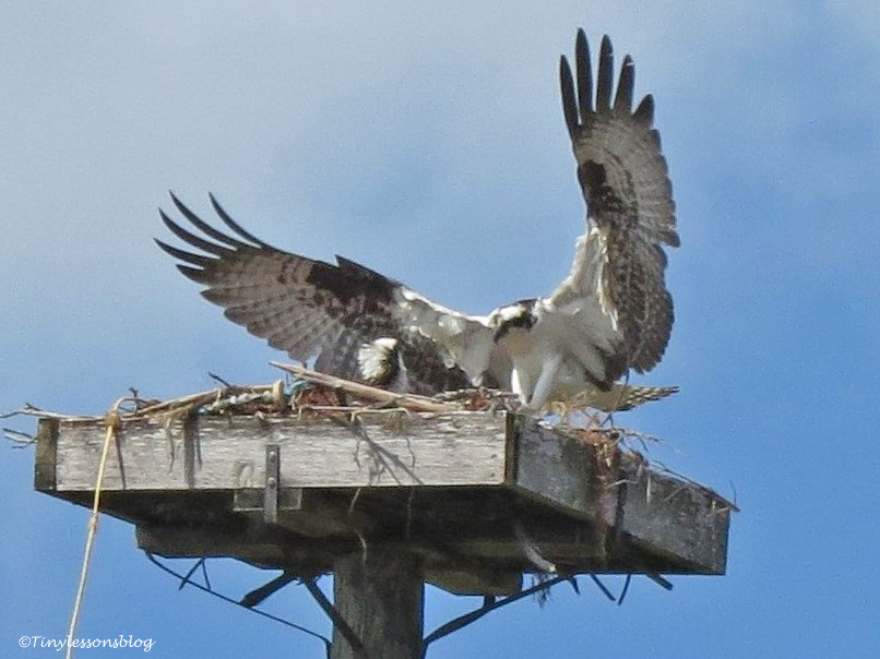 male osprey flies into the nest sand key park clearwater florida