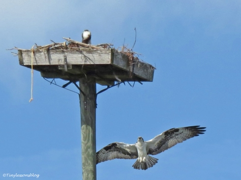 male osprey returns to the nest sand key park clearwater florida