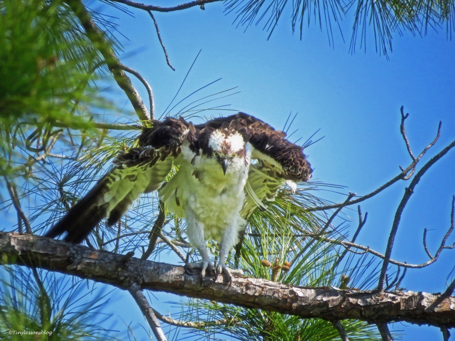 osprey shaking off water Sand Key Park Clearwater Florida
