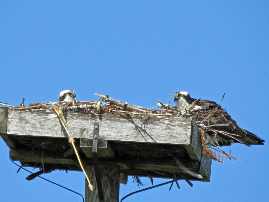 male osprey sits on the eggs while female dries herself sand key park clearwater florida