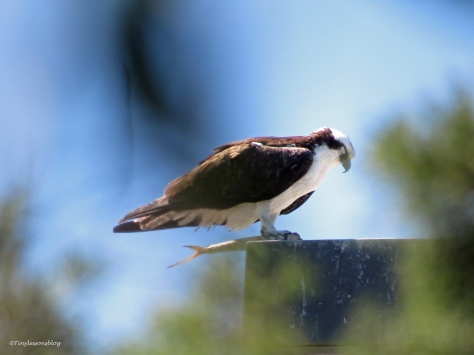 osprey sleeping with a half eaten fish Sand Key Park Clearwater Florida