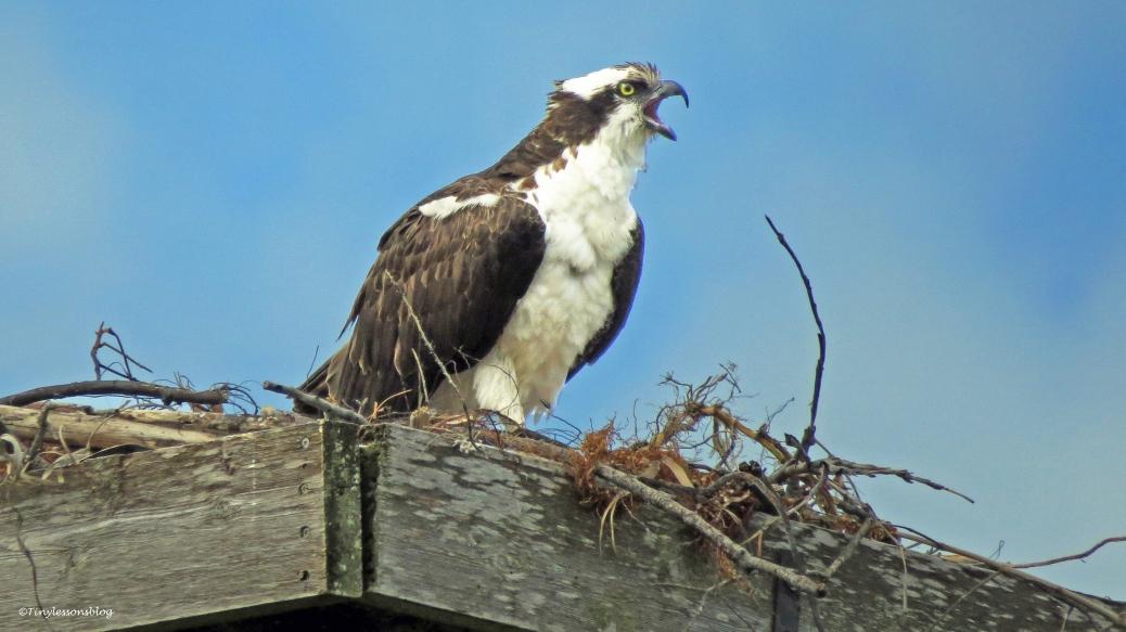 Papa ospreys alarn call  for Fri