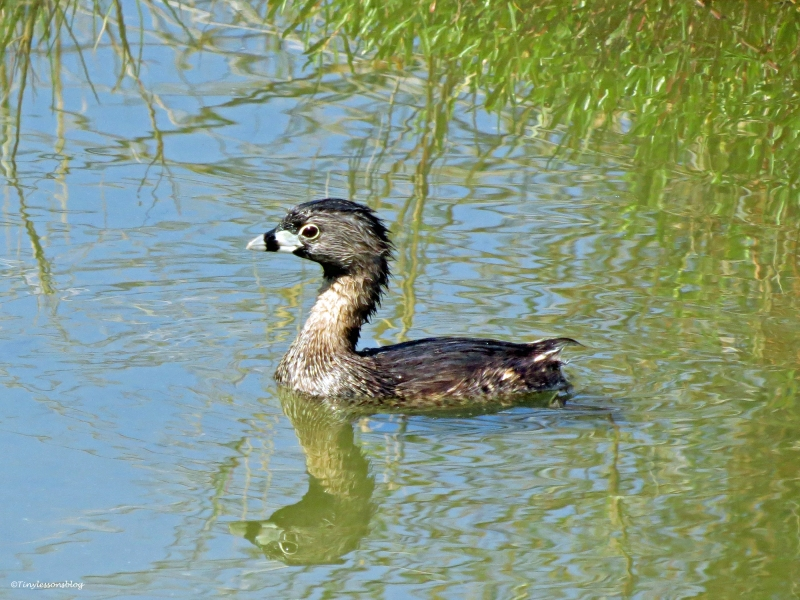 a juvenile pied billed grebe