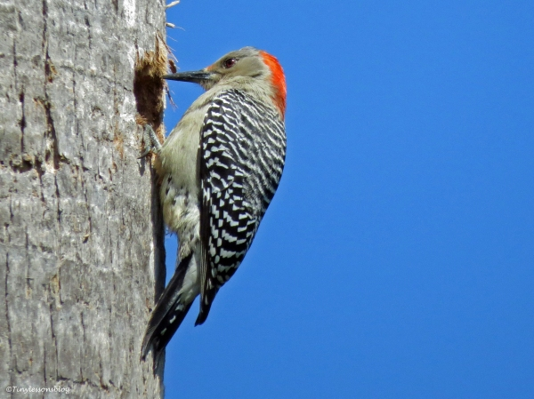 red-bellied woodpecker Sand Key Park Clearwater Florida
