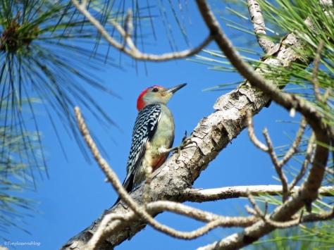 red-bellied woodpecker in the pine tree