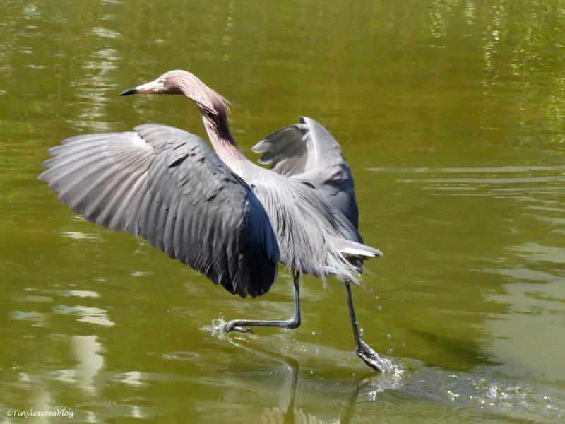 reddish egret hunting in sandkey park clearwater florida