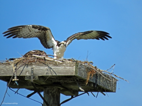 shift change for incubating ospreys Sand Key Park Clearwater Florida