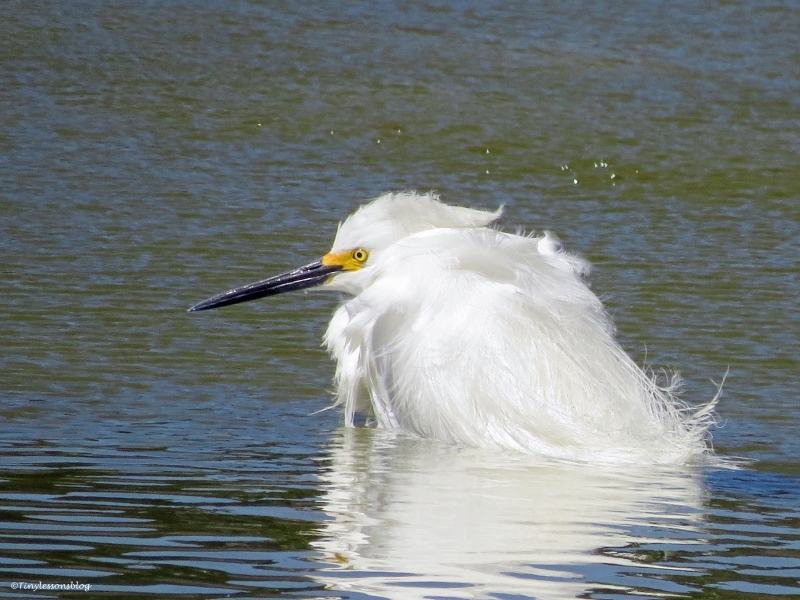snowy egret sitting in water