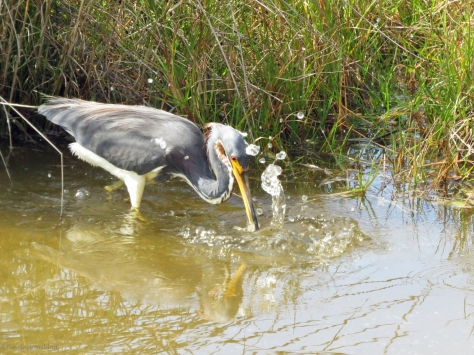 tricolored geron gets a fish sand key park clearwater florida