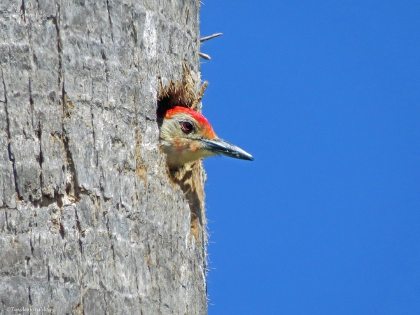 redbellied woodpecker in his nest Sand Key Park Clearwater Florida