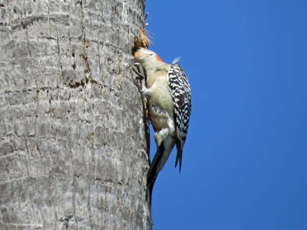 Woodpecker builds his nest Sand Key Park Clearwater Florida