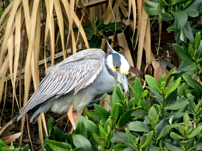yellowcrowned night heron 2 WW