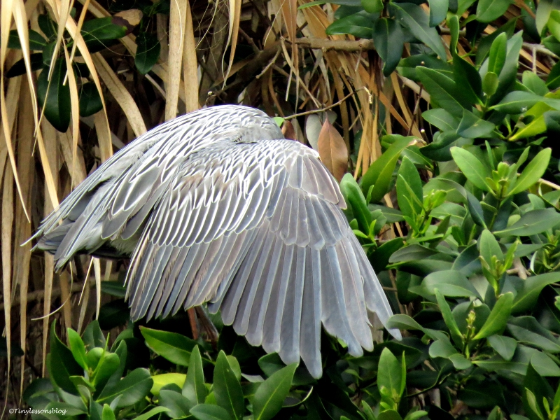 yellowcrowned night heron