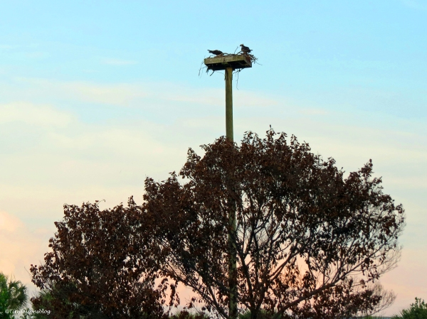 Dinner at 7:40 p.m. at the osprey nest in Sand Key Park Clearwater Florida