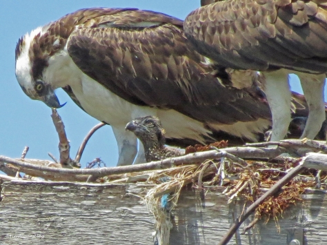 A curious osprey chick looks out of the nest in Sand Key Park Clearwater Florida
