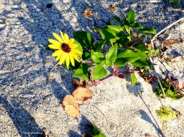beach sunflower at sunrise