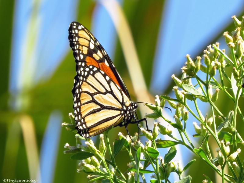 butterfly macro L