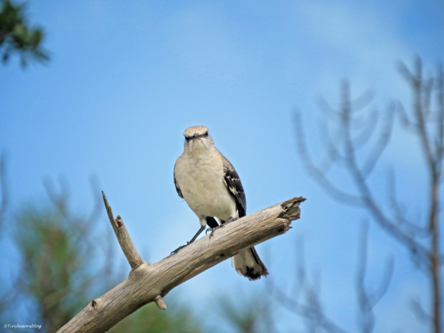 a mockingbird sand key park clearwater florida