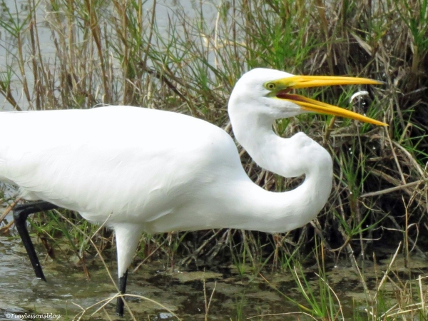 A great egret eats a fish sand key park clearwater Florida