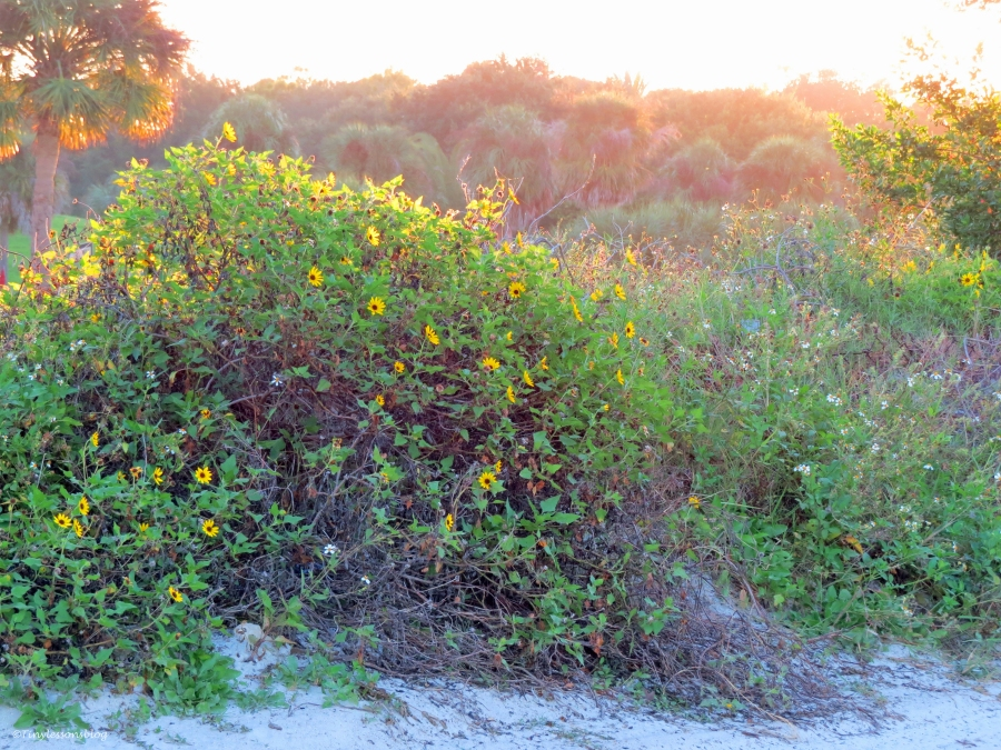 Walking from the beach towards the salt marsh wild flowers greet the hazy morning...