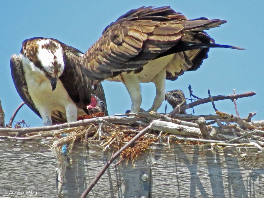 osprey female feed chicks Sand Key Park Clearwater Florida