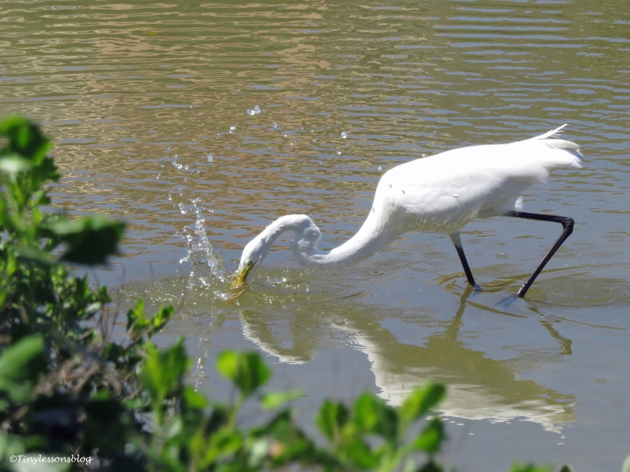 Great Egret fishing Sand Key Park Clearwater Florida