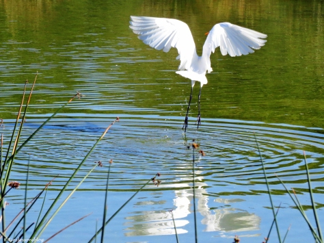 A Great Egret takes off Sand Key Park Clearwater Florida