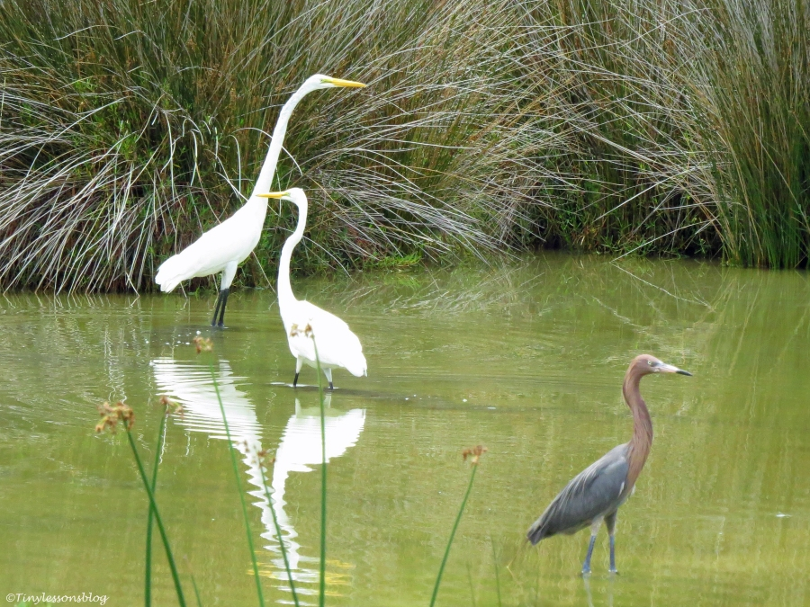 Two great egrets and a reddish egret Sand Key Park Clearwater Florida