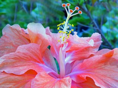 hibiscus flower L