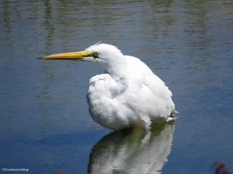Juvenile Great Egret  takes a bath Sand Key Park Clearwater Florida