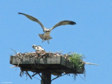 Osprey chick learns to fly on May 13, 2014, almost landing on her mama Sand Key Park Clearwater Florida
