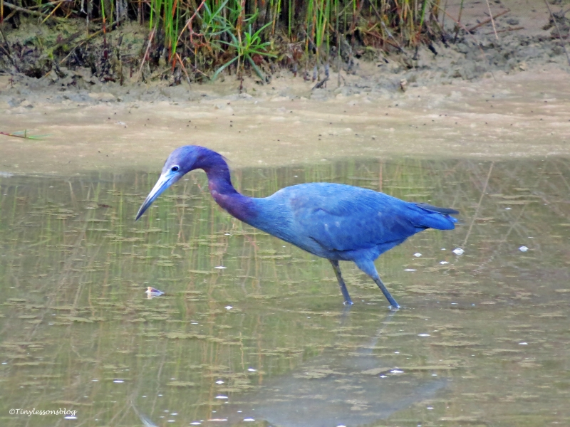 Little Blue Heron in Sand Key Park Clearwater Florida