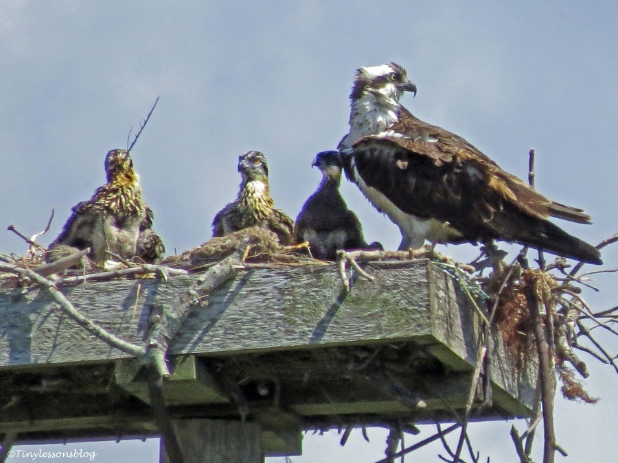 female osprey with her chicks Sand Key Park Clearwater Florida