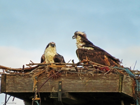 osprey couple at sunrise in Sand Key Park Clearwater Florida