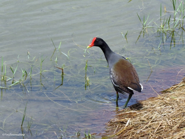 moorhen Sand Key Park Clearwater Florida