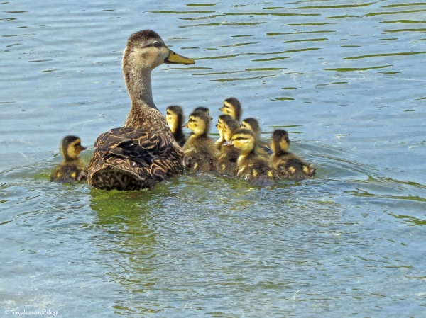 mama mottled duck with 10 chicks UD3