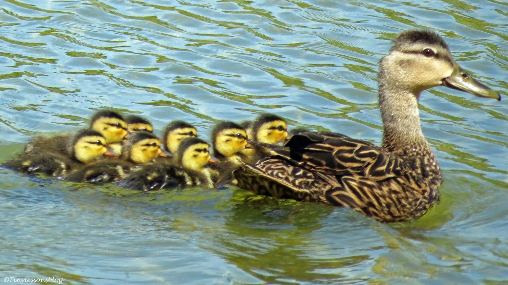 mama mottled duck with her 10 chicks UD3