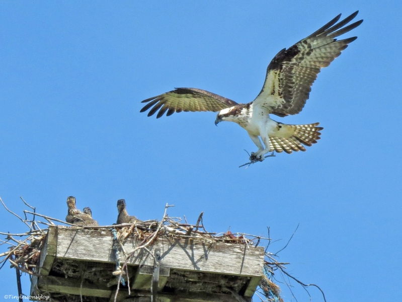mama osprey brings in reenforcements to the nest with three chicks Sand Key Park Clearwater Florida