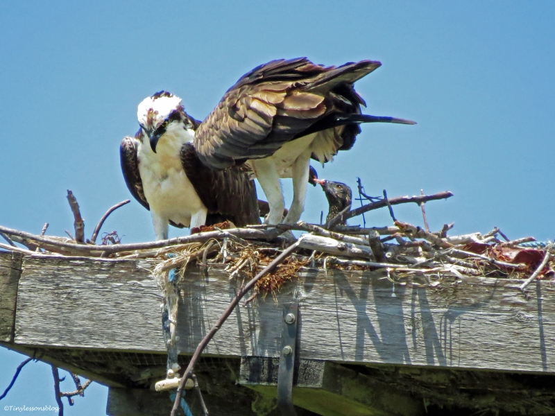 osprey feeding chickSand Key Park Clearwater Florida
