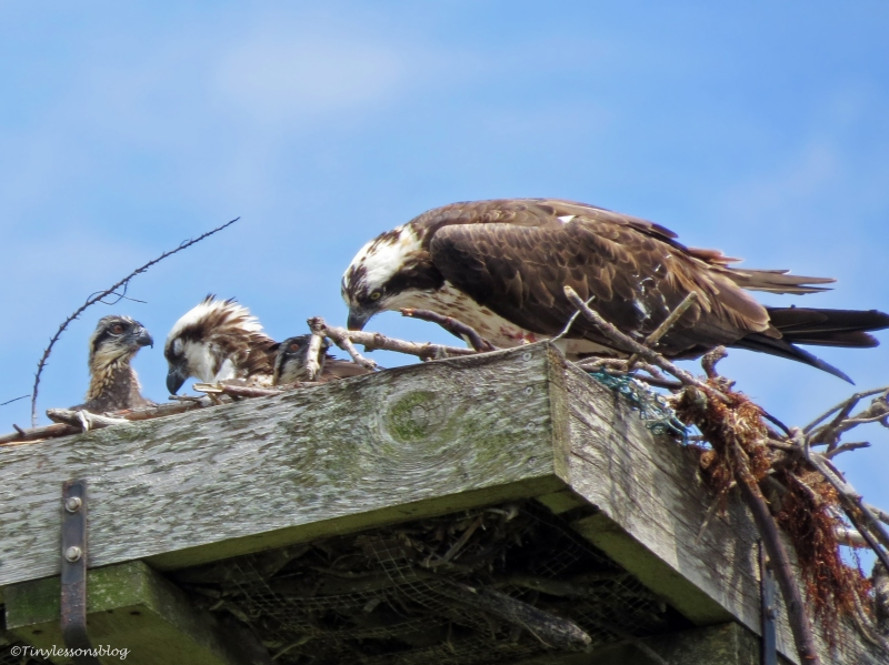 male osprey sleeps while the female feeds the chicks Sand Key Park Clearwater Florida
