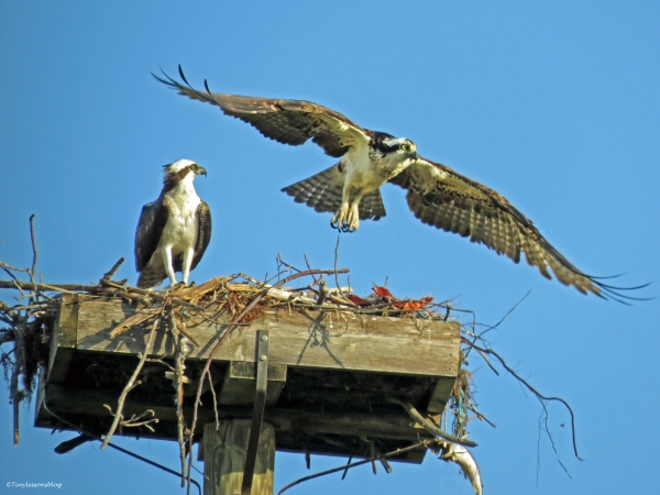 mama osprey leaves the nest sand key park clearwater florida