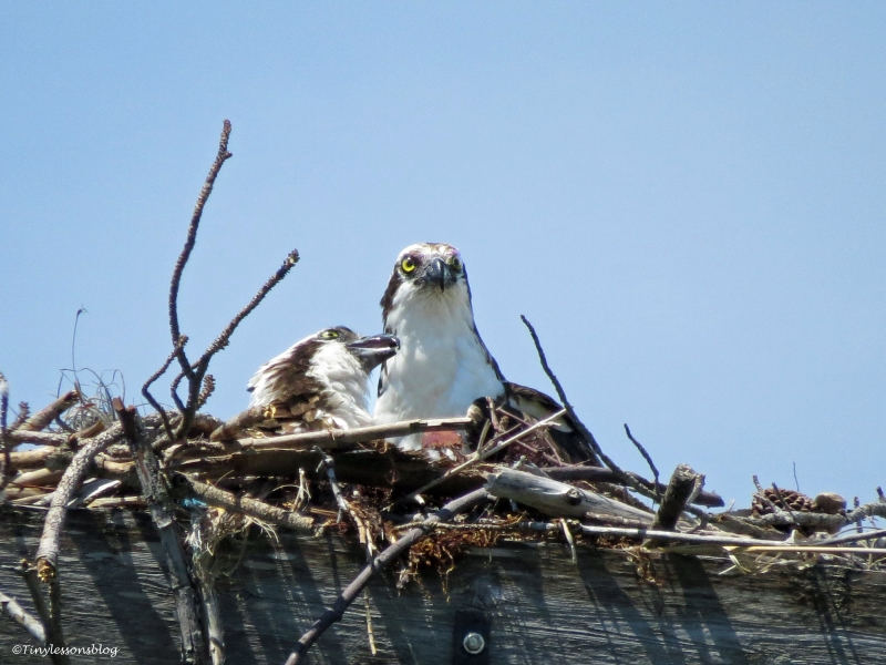 ...to defend the nest...Mama Sandy is still sounding a stern warning to Steve...