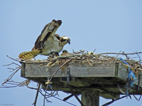 Female Osprey in the nest with her chicks Sand Key Park Clearwater Florida